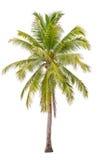 Kokosnötpalmträd. Arkivbilder