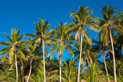 Kokosnötpalmträd Royaltyfri Foto