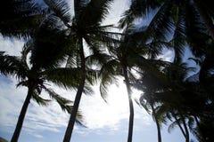 Kokosnötpalmträd Royaltyfri Fotografi