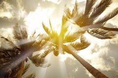 Kokosnötpalmträd Fotografering för Bildbyråer