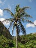 Kokosnötpalmträd i den Iao dalen hawaii Arkivbild