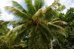 Kokosnötpalmträd i regnskogen i den Portland församlingen, Jamaica Royaltyfri Fotografi