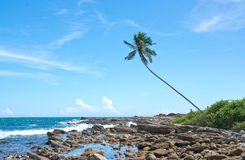 Kokosnötpalmträd i stenigt landskap Royaltyfri Foto