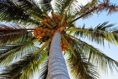 Kokosnötpalmträd med frukter Royaltyfri Bild