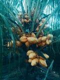 Kokosnötpalmträd med gula frukter royaltyfria foton