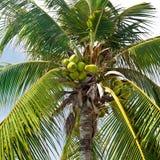 Kokosnötpalmträd med kokosnötter Arkivfoton