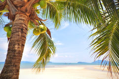 Kokosnötpalmträd med kokosnötter bär frukt på tropisk strandbakgrund Royaltyfria Foton