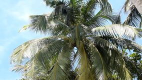 Kokosnötpalmträd mot blå himmel stock video
