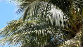 Kokosnötpalmträd mot blå himmel lager videofilmer