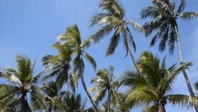 Kokosnötpalmträd mot blå himmel arkivfilmer