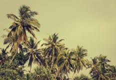 Kokosnötpalmträd och mangrove i vändkretsar Royaltyfri Foto