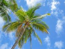 Kokosnötpalmträd på bakgrund för blå himmel Arkivfoto