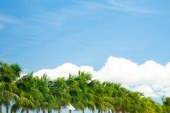 Kokosnötpalmträd på blå himmel Arkivfoton