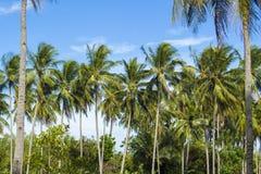 Kokosnötpalmträd på den tropiska ön blå ljus sky för bakgrund Arkivbilder