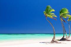 Kokosnötpalmträd på den vita sandiga stranden i Punta Cana, dominikan royaltyfri bild