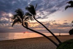 Kokosnötpalmträd på solnedgången på maui royaltyfri bild