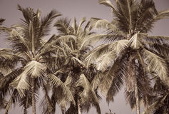 Kokosnötpalmträd som en bakgrund Royaltyfri Bild