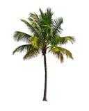 Kokosnötpalmträd som isoleras på vit bakgrund arkivfoto