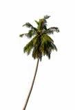 Kokosnötpalmträd som isoleras på vit bakgrund Royaltyfri Fotografi