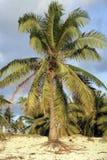 Kokosnötpalmträd som växer på den tropiska stranden Arkivbilder