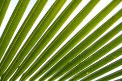 Kokosnötpalmträdblad Arkivfoto