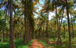 Kokosnötpalmträdkoloni Arkivfoto
