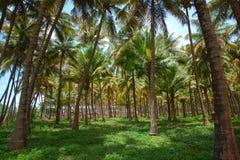 Kokosnötpalmträdkoloni Arkivfoton