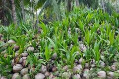 Kokosnötplantor Arkivbilder