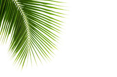 Kokosnötsidor royaltyfri foto