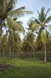 kokosnötskogen gömma i handflatan Arkivfoton