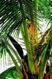 Kokosnötter är doftande blommor, men de kan också vara van vid drag Royaltyfri Foto