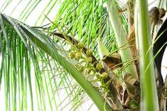 Kokosnötter är doftande blommor, men de kan också vara van vid dragkryp som flyger för att pollinera det royaltyfri fotografi