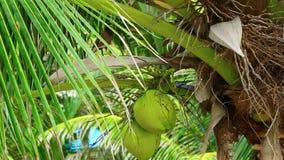 Kokosnötter arkivfilmer