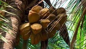 kokosnötter Royaltyfria Bilder