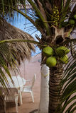 kokosnötter Arkivfoton