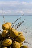 Kokosnötter Boca Chica strand, Dominikanska republiken som är karibisk Arkivfoto