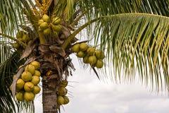 Kokosnötter på en kokosnöt gömma i handflatan Arkivfoto