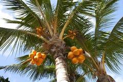Kokosnötter på en palmträd Royaltyfri Foto