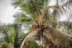 Kokosnötter på en palmträd Royaltyfri Fotografi