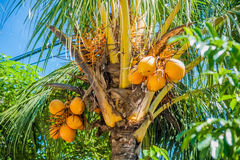 Kokosnötter på en palmträd Royaltyfria Bilder