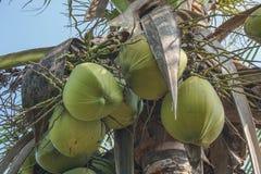 Kokosnötter på gömma i handflatan Arkivfoton