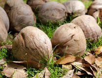 Kokosnötter på jordningen Fotografering för Bildbyråer