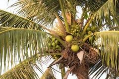 Kokosnötter på kokospalmer arkivbild
