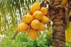 Kokosnötter på palmträd Royaltyfria Bilder