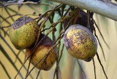 Kokosnötter på palmträd Royaltyfri Fotografi