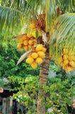 Kokosnötter på palmträdet Arkivfoto