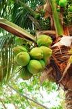 Kokosnötter på palmträdet Royaltyfria Bilder