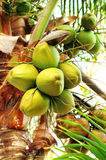 Kokosnötter på palmträdet Fotografering för Bildbyråer