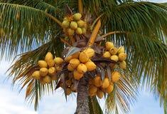 Kokosnötter på palmträdet Royaltyfri Bild