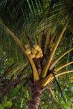 Kokosnötter på palmträdet Arkivbild